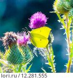 Купить «Дневная бабочка Лимонница  (Gonepteryx) на цветах Чертополоха», фото № 12281555, снято 5 мая 2015 г. (c) Евгений Мухортов / Фотобанк Лори