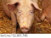 Купить «Big pig in sty at farm», фото № 12301743, снято 16 октября 2018 г. (c) PantherMedia / Фотобанк Лори