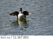 Купить «Female Common Goldeneye Stretching Its Wings on the Water», фото № 12387883, снято 13 ноября 2018 г. (c) PantherMedia / Фотобанк Лори