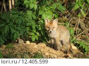 Купить «nature hunter fox rabies naturaufnahme», фото № 12405599, снято 22 марта 2019 г. (c) PantherMedia / Фотобанк Лори