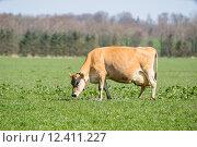 Купить «Jersey cow frazing on a field», фото № 12411227, снято 22 мая 2019 г. (c) PantherMedia / Фотобанк Лори