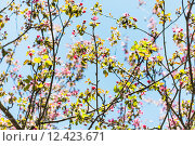 Купить «branches of pink flowering apple tree in spring», фото № 12423671, снято 4 июля 2020 г. (c) PantherMedia / Фотобанк Лори