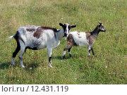 Купить «Goat and kid on the pasture», фото № 12431119, снято 27 мая 2019 г. (c) PantherMedia / Фотобанк Лори