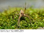 Купить «insect insects araneomorphae echte webspinnen», фото № 12449291, снято 15 октября 2019 г. (c) PantherMedia / Фотобанк Лори