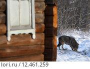 Серый волк возле дома. Стоковое фото, фотограф Alexey Matushkov / Фотобанк Лори