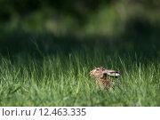 Купить «Brown hare (Lepus europaeus)», фото № 12463335, снято 18 июля 2018 г. (c) PantherMedia / Фотобанк Лори