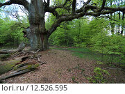 Купить «tree oak alte eiche baum», фото № 12526595, снято 15 июля 2020 г. (c) PantherMedia / Фотобанк Лори