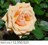 Купить «Роза чайно-гибридная Роял Паркс (лат. Royal Parks), Harkness, 2004», эксклюзивное фото № 12550523, снято 1 июля 2015 г. (c) lana1501 / Фотобанк Лори