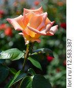 Купить «Роза чайно-гибридная Сент-Сэйшн (лат. Scent-Sation), Fryers Roses 1998», эксклюзивное фото № 12583387, снято 14 июня 2015 г. (c) lana1501 / Фотобанк Лори