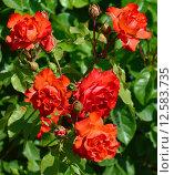 Купить «Роза флорибунда Фарандоль (лат. Farandole), Meilland 1999», эксклюзивное фото № 12583735, снято 14 июня 2015 г. (c) lana1501 / Фотобанк Лори