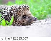 Купить «Молодой ёж на природе», фото № 12585007, снято 2 июля 2015 г. (c) Володина Ольга / Фотобанк Лори