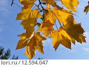 Желтые листья клена. Стоковое фото, фотограф Olga Goryunova / Фотобанк Лори