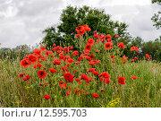 Красные маки на лугу. Стоковое фото, фотограф Алексей Маринченко / Фотобанк Лори