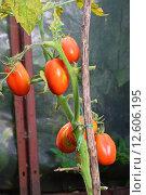 Купить «Шесть красных спелых сливовидных томатов на кусту крупным планом в парнике», фото № 12606195, снято 31 августа 2015 г. (c) Максим Мицун / Фотобанк Лори