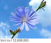 Купить «Цикорий обыкновенный (лат. Cichorium intybus L)», эксклюзивное фото № 12608083, снято 14 июля 2012 г. (c) lana1501 / Фотобанк Лори