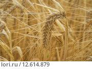 Купить «field agriculture grain farming wheat», фото № 12614879, снято 22 августа 2018 г. (c) PantherMedia / Фотобанк Лори