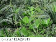 Купить «green spain palm tree licht», фото № 12629819, снято 20 февраля 2019 г. (c) PantherMedia / Фотобанк Лори