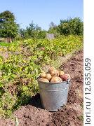 Купить «Ведро с картофелем нового урожая стоит на грядке», фото № 12635059, снято 20 августа 2015 г. (c) FotograFF / Фотобанк Лори
