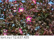 Купить «Роза сизая (Rosa glauca)», фото № 12637435, снято 5 июня 2012 г. (c) Алёшина Оксана / Фотобанк Лори