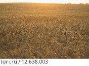 Пшеничное поле. Стоковое фото, фотограф Друзюк Олександр Степанович / Фотобанк Лори