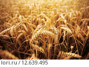 Купить «field of ripening wheat ears or rye spikes», фото № 12639495, снято 26 августа 2015 г. (c) Syda Productions / Фотобанк Лори