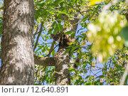 Лесная куница среди зеленых листьев и ветвей деревьев. Стоковое фото, фотограф Михаил Степанов / Фотобанк Лори