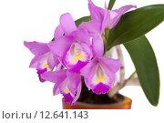 Купить «Орхидея», фото № 12641143, снято 30 августа 2015 г. (c) Светлана Чуйкова / Фотобанк Лори