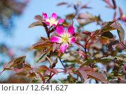 Купить «Роза сизая (Rosa glauca)», фото № 12641627, снято 5 июня 2012 г. (c) Алёшина Оксана / Фотобанк Лори