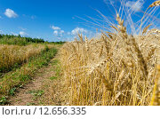 Купить «Колосья пшеницы на фоне синего неба», фото № 12656335, снято 2 августа 2015 г. (c) Валерий Боярский / Фотобанк Лори