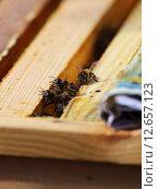 Рабочие пчелы. Стоковое фото, фотограф Анатолий Матвейчук / Фотобанк Лори