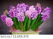 Купить «hyacinth flowers in pot», фото № 12659315, снято 2 мая 2015 г. (c) Дмитрий Калиновский / Фотобанк Лори