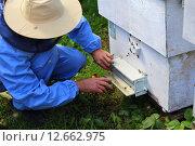 Пчеловод сидит перед летком улья. Стоковое фото, фотограф Анатолий Матвейчук / Фотобанк Лори