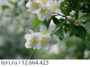 Капли дождя на цветах жасмина в пасмурный день, цветы жасмина. Стоковое фото, фотограф Олеся Мороховец / Фотобанк Лори