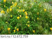 Купить «Клематис тангутский (лат. C. tangutica)», эксклюзивное фото № 12672759, снято 14 июля 2009 г. (c) lana1501 / Фотобанк Лори