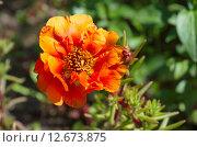 Купить «Портулак крупноцветковый махровый (лат. Portulaca grandiflora)», эксклюзивное фото № 12673875, снято 25 июля 2015 г. (c) Елена Коромыслова / Фотобанк Лори