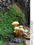 Купить «Ложные опята в осеннем лесу», эксклюзивное фото № 12673927, снято 12 сентября 2015 г. (c) Алексей Гусев / Фотобанк Лори