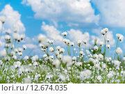 Купить «Летний пейзаж с цветущей пушицей», фото № 12674035, снято 7 июня 2015 г. (c) Икан Леонид / Фотобанк Лори