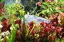 Насекомоядные растения в ботаническом саду, эксклюзивное фото № 12675439, снято 6 августа 2015 г. (c) lana1501 / Фотобанк Лори