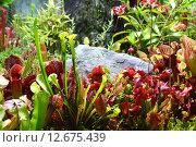 Купить «Насекомоядные растения в ботаническом саду», эксклюзивное фото № 12675439, снято 6 августа 2015 г. (c) lana1501 / Фотобанк Лори
