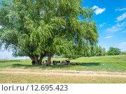Купить «Стадо коз и овец под деревом», фото № 12695423, снято 5 июня 2015 г. (c) Валерий Смирнов / Фотобанк Лори