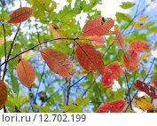 Осенние листья. Стоковое фото, фотограф Наталья Богуцкая / Фотобанк Лори