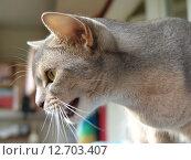 Абиссинская кошка сердито мяукает. Стоковое фото, фотограф Vladimir Zhupanenko / Фотобанк Лори