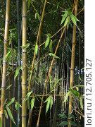 Бамбук. Стоковое фото, фотограф Роман Вафин / Фотобанк Лори