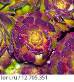 Красивая Эхеверия (echeveria) с росой. Стоковое фото, фотограф Оксана Дорохина / Фотобанк Лори