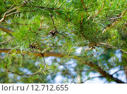 Шишки на ветках сосны освещенные солнцем весной. Стоковое фото, фотограф Екатерина Ветошкина / Фотобанк Лори