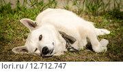Сонная подмигивающая собака, отдыхающая на траве. Стоковое фото, фотограф Екатерина Ветошкина / Фотобанк Лори