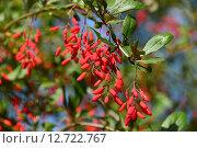 Купить «Барбарис обыкновенный (лат. Berberis vulgaris L.)», эксклюзивное фото № 12722767, снято 18 сентября 2015 г. (c) lana1501 / Фотобанк Лори