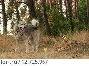 Серая собака в лесу. Стоковое фото, фотограф Антон Глущенко / Фотобанк Лори