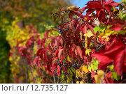 Живой забор.Дикий виноград. Стоковое фото, фотограф Оксана Гапонова / Фотобанк Лори