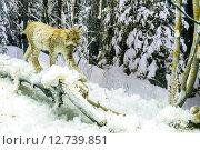 Купить «Рысь в лесу зимой.Музей Березинского заповедника», фото № 12739851, снято 14 августа 2015 г. (c) Владимир Макеев / Фотобанк Лори